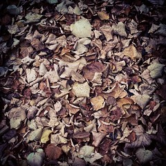 15/10/15 - Crunchy leaves on the ground (ordinarynomore) Tags: crunchy crispy leaves flora nature photooftheday