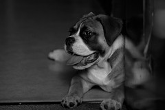 IMG_0427 (Lens a Lot) Tags: paris | 2016 rollei rolleinarmc 85 mm f 28 1978 6 blades iris qbm f4 black white dog puppy bokeh depth field vintage manual prime lens noir et blanc monochrome profondeur de champ animal chien compagnie intrieur german west germany made japan japanese rolleinar
