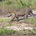 Jaguar walking...