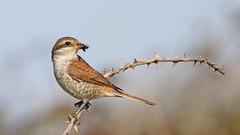 Red-backed Shrike (jaytee27) Tags: redbackedshrike naturethroughthelens