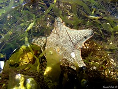 Etoile de mer (Noemie.C Photo) Tags: etoile star algues mer sea eau water patrick rock rocher bulles bubble animal plage beach coquillage sell vert green nature