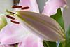 20160925_032_2 (まさちゃん) Tags: つぼみ 蕾 雌しべ 雌蕊 雄しべ 雄蕊 ゆり ユリ 百合