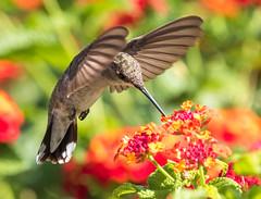Black-chinned Hummingbird Female (gilamonster8) Tags: arizona bokeh