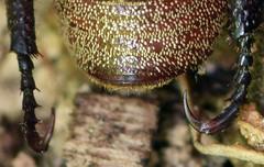 hooked rear tarsi and underside with blond scales, dark Hoplia (ophis) Tags: coleoptera polyphaga scarabaeoidea scarabaeidae melolonthinae hopliini hoplia hopliatrivialis monkeybeetle