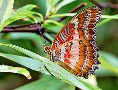 Leopard Lacewing - Cethosia cyane (Oldt1mer - Keith) Tags: leopardlacewing cethosiacyane butterfly insect wing underwing eye antenna red brown white pattern macro leaves leaf beautiful aruba thebutterflyfarm detail amazing awesome delightful small nature explore explored