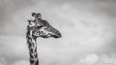 _26A7374 (farhan1mirza) Tags: giraffe kenya nairobi nairobinationalpark