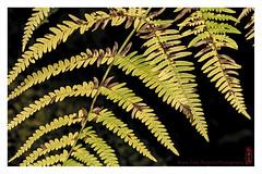 fern (alamond) Tags: autumn approaching fern dof canon 7d markii mkii llens ef 70300 f456 l is usm alamond brane zalar