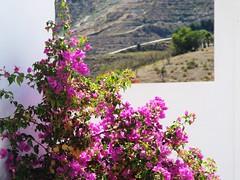 Bougainvillea view ...  (Tricia in Granada, Espaa ....) Tags: bougainvilleaview bougainvillea itrabo granada andalucia espaa ourterraceview terrace