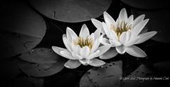 Still (1 of 1) (amndcook) Tags: keweenaw lake landscape michigan outdoors water lilypad nature upperpeninsula wildlife