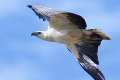 Big wings (Geoff Main) Tags: australia bird birdofprey birdinflight canon7dmarkii canonef300mmf28lisiiusm canonefextender20xiii eagle nsw nswsouthcoast whitebelliedseaeagle