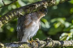 Sparrowhawk - hiding in garden (Bill Richmond) Tags: sparrowhawk accipiternisus birdofprey raptor hawk nikond810