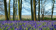 Bluebell Horizon (Richard Paterson) Tags: bluebells sussex woods angmering