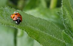 ladybug (gazzh) Tags: ladybird ladybug waterdrops