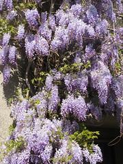 Wisteria (Padeia) Tags: wisteria blauregen glyzine glyzinie 2012 germany padeia canon wisterie wistarie glycine glycinie pointandshootcamera outdoor pflanze plant rheydt mönchengladbach berlinerstrasse