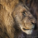 The king of animals, wonderful lion in the Masai Mara.