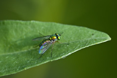 May 28th, Long-legged fly 2 (violetflm) Tags: insect spring native may best il longleggedfly northbrook may28th edim d300s 45orless d3u3132