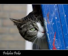 Peekaboo ... (Jan Gee) Tags: cat grey chat peekaboo tabby gato katze ladder gatto poes gat peepbo impressedbeauty poeka