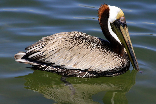 Brown Pelican in St. Andrews Bay