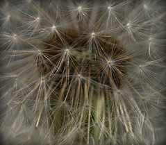 Seeds of the Dandelion (CWhatPhotos) Tags: pictures abstract macro up look field closeup canon that lens eos prime photo weeds weed foto dof looking close image artistic photos picture seed images dandelion seeds have fotos 7d 28 60mm dslr which depth f28 ef contain dandelions cwhatphotos