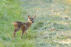 Just passing by.. (Lucky Lucas) Tags: cute wildlife deer fawn roedeer d300 ree 500mmf4 specanimal specanimalphotooftheday