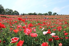 poppy field. (cate) Tags: ngc swing redpoppy strongwind fullbloom poppyfield