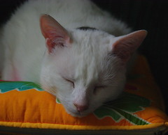 Monty asleep (JonHall) Tags: cats monty