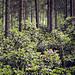 rhododendronexplosion under tallarna