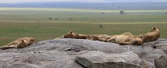 Lions Serengeti (jnyaroundtheworld) Tags: africa animals tanzania wildlife lion ngorongoro crater zebra giraffe massai serengeti animaux girafe afrique faune zbre tanzanie greatmigration wetseason manyaralake ndutu felins masa lacmanyara saisondespluies grandemigration