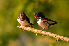 Evening Argument (Swallows) (Alistair Prentice.) Tags: summer male bird female island flying spring lough pentax map wildlife centre 150 oxford trust mating perched 500 prentice swallow migration discovery swallows nesting neagh kx migrant lurgan