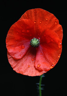The Weeping Poppy