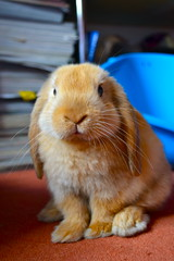 Hehe (mylo_rabbit) Tags: pet baby house cute rabbit bunny love home animal naughty ginger friend sweet hey adorable fluffy cutie cheeky precious hi sweetie lovely mylo houserabbit