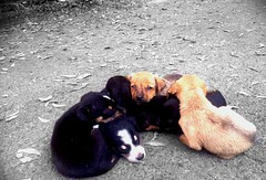Litter on the Road (Manishgant) Tags: puppies sony litter photograph chennai chromepet hx9v manishgant
