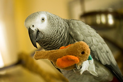 zelda and her toy (eva8*) Tags: pet bird toy grey play parrot africangrey zelda congo cag