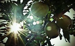 Another sunburst in the apple tree (mountain_doo2) Tags: sun tree apple leaf sunburst yabbadabbadoo d7000