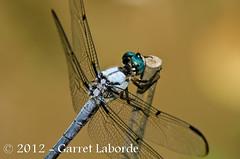 Great Blue Skimmer (Libellula vibrans) (The Fantastic G) Tags: june louisiana dragonfly 16th 2012 sbr200 livingstonparish nikonr1system nikond7000 sigma150mm28exapodghsmmacro sigma14xtcapodgex 2012jun16