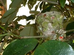 Hummingbird nest (Dis da fi we) Tags: hummingbird puntagorda toledodistrict belize toledo hickateebelize hickateepuntagorda jungle rainforest forest wildlife culture cottages hickatee