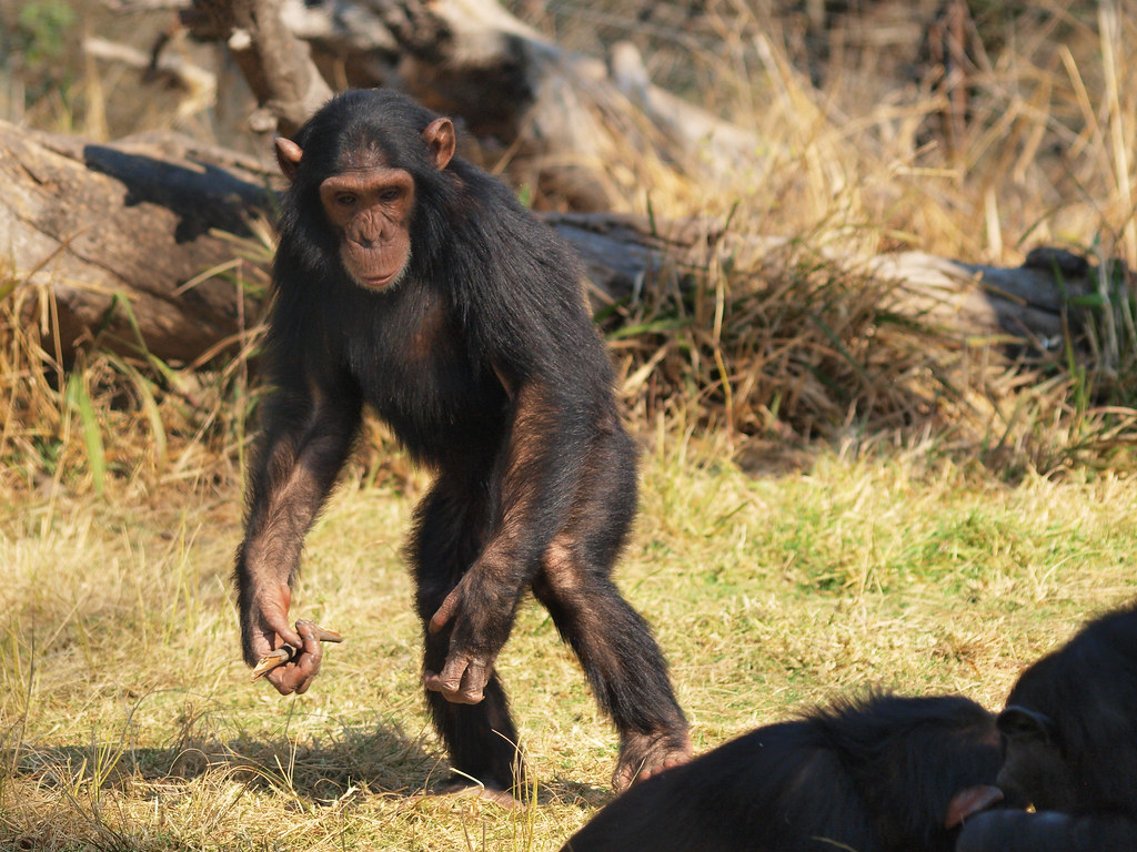 a plea for the chimpanzees jane goodall essay Easily share your publications and get them in front of issuu's  john forbes nash jr edward o wilson jane goodall sir  called a plea bargain, galileo.