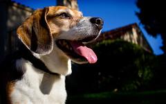 Epic Beagle (Dan Hontz) Tags: dog beagle epic select