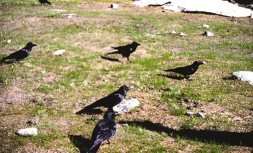 Corvus macrorhynchos intermedius (Large-billed Crow; Himalayan Crow)