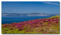 Headland heather (Simon Bone Photography) Tags: sea bay coast cornwall purple heather coastal coastline stives headland cornish canon1740mmlf4 wwwthehidawaycouk canoneos7d