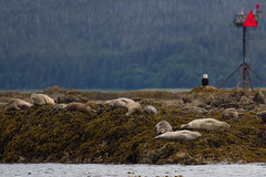 Seals with onlooker