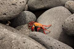 Crab (BradPerkins) Tags: travel santacruz beach southamerica ecuador rocks crab galapagos bartolome galapagosislands northseymour