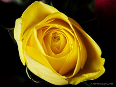 yellow rose (AGB Photography) Tags: nikon d5000 agbphotography