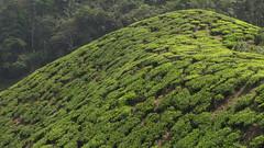 Boh Tea Estate (blue polaris) Tags: travel tree green leaves station landscape leaf highlands scenery asia estate tea south hill east highland cameron malaysia plantation tropical southeast peninsula pahang boh