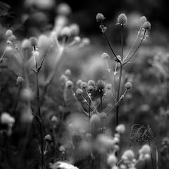 Summer Wildflowers 020 (noahbw) Tags: flowers light shadow summer blackandwhite bw abstract blur monochrome forest square landscape blackwhite woods nikon dof natural dreamy prairie dreamlike hellernaturecenter d5000 noahbw