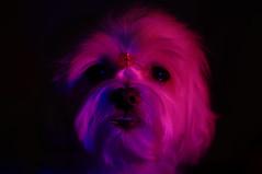 15838 - Disco-Kira (Diego Rosato) Tags: kira cani animali dogs pets animals luci lights rossa red blu blue viola violet nikon d700 85mm gimp kenko teleconverter dark scuro