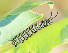 monarch caterpillar on common milkweed at Ludwig Preserve IA 854A8122 (lreis_naturalist) Tags: monarch butterfly caterpillar common milkweed leaf ludwig preserve winneshiek county iowa larry reis