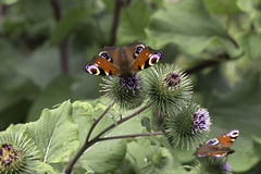 Butterfly Boom (me'nthedogs) Tags: peacock thistle westhay somerset levels