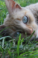 GATO (ErickLlanosR) Tags: animales calles parques gatos cat blue eyeblue ojos gatoscallejeros