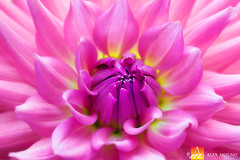Dahlia-22 (Nualchemist) Tags: flower plant nature simplyflowers petals pink bloom green greenleaves floralphotography dahlia yellow red summer fullbloom botanical bright light floral heavenly macro orange 2016dahiashow colorful white closeup delightful glorious magical soft goldengatepark pretty palepink lightpink enchanting sanfrancisco singleflower cheerful joyful delight california colors palette botanicalgarden organicpattern purple lavender designbynature geometric elementsofdesign silky velvet softlight veil tender flame fire
